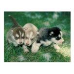 Siberian Husky Puppies Post Cards