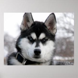 Siberian Husky Puppy poster