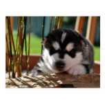 Siberian Husky Puppy with Bamboo Postkarte
