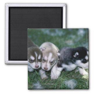 Siberian Husky pups, 3 weeks Square Magnet