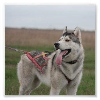 Siberian Husky sled dog Art Photo