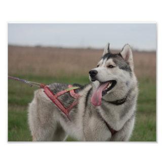 Siberian Husky sled dog Photo Print