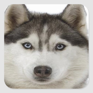 """""""Siberian Husky"""" Square Sticker"""