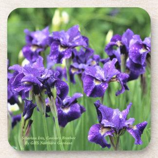Siberian Iris, Ceasar's Brother Coaster