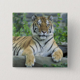 Siberian Tiger 15 Cm Square Badge