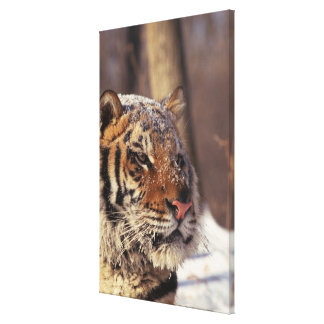 Siberian tiger stretched canvas print