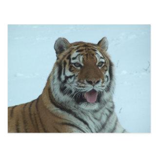Siberian Tiger Close Up Face 2 Postcard