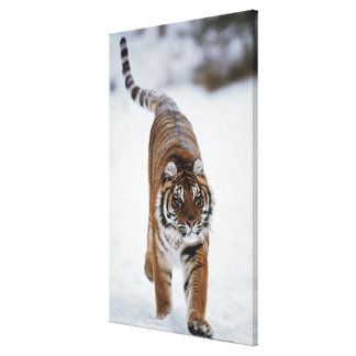Siberian Tiger In Snow Stretched Canvas Prints