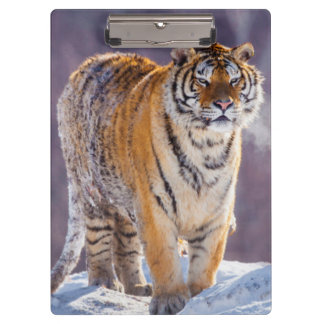 Siberian tiger in snow, China Clipboard
