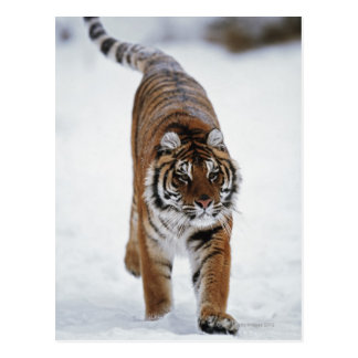 Siberian Tiger In Snow Postcard