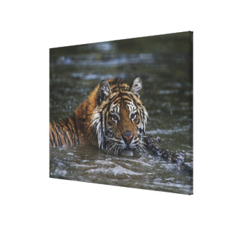 Siberian Tiger In Water Canvas Print
