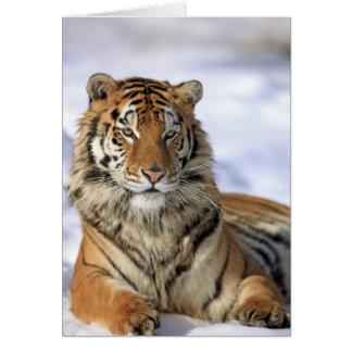 Siberian Tiger, Panthera tigris altaica, Asia, Card