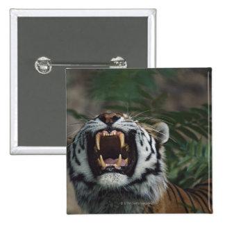 Siberian Tiger (Panthera Tigris) Bares Fangs 15 Cm Square Badge
