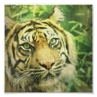 Siberian Tiger Poster Print
