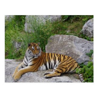 Siberian Tiger Relaxing on a Rock Postcard