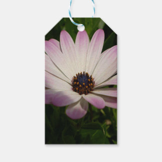 Side View of A Pink and White Osteospermum