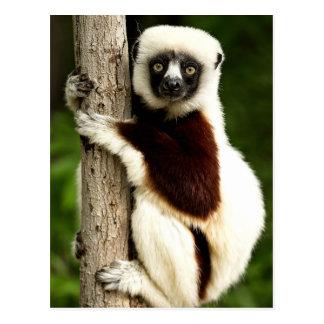 Sifaka Lemur in Madagascar Forest Postcard