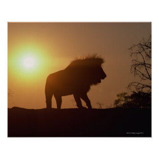Silhouette of a lion poster