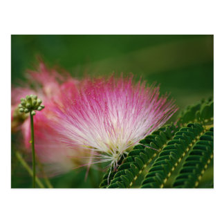 Silky Pink Mimosa Postcard