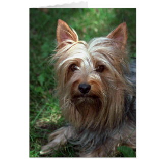Silky Toy Terrier Card