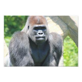Silver Back Gorilla Photo Print