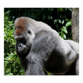 Silver Back Gorilla Posters