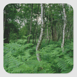 Silver birch trees and ferns, Sherwood Forest Square Sticker