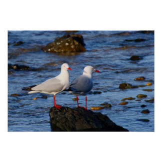 Silver Gulls Posters