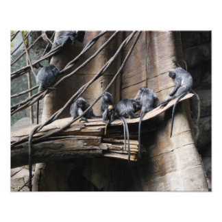 Silver Langur Monkey Troop with Baby Art Photo