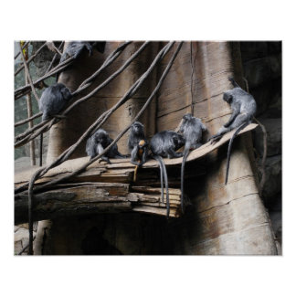 Silver Langur Monkey Troop with Baby Poster