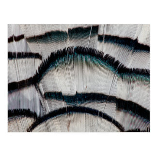 Silver Pheasant feathers Postcard