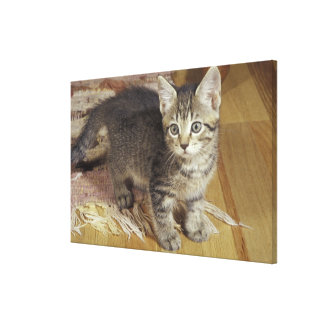 Silver tabby kitten, eight weeks old gallery wrap canvas
