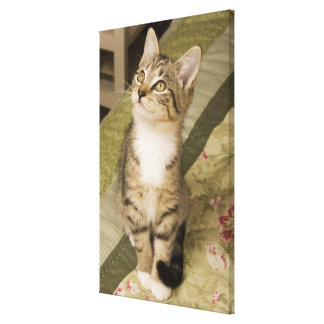 Silver tabby on bedspread stretched canvas print