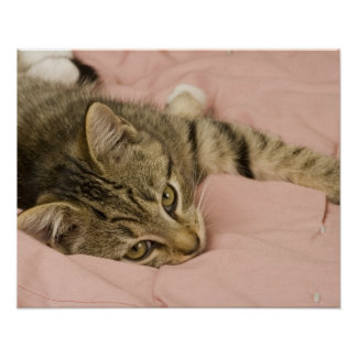 Silver tabby stretched out on bedspread poster