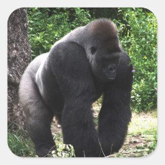 Silverback Male Gorilla walking head down.jpg Square Sticker