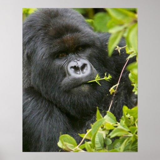 Silverback Mountain Gorilla Posters