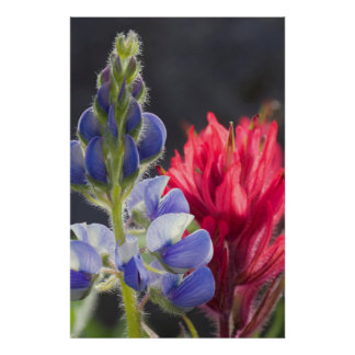 Silvery Lupine, Lavender Paintbrush Poster