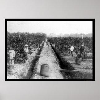 Singapore Coffee Plantation 1898 Poster