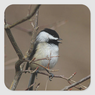 Singing Chickadee Square Sticker