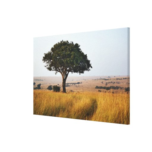 Single acacia tree on grassy plains, Masai Mara, Stretched Canvas Print