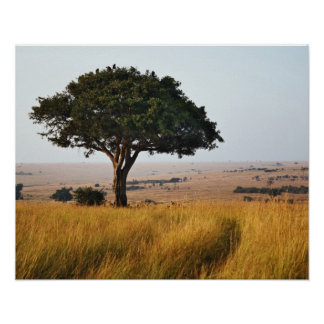 Single acacia tree on grassy plains, Masai Mara, Poster