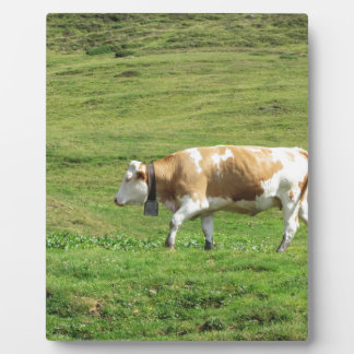 Single cow in an alpine pasture display plaques