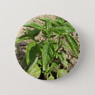 Single fresh basil plant growing in the field 6 cm round badge