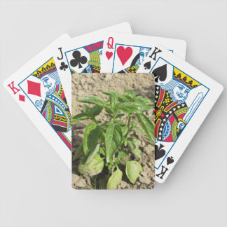 Single fresh basil plant growing in the field bicycle playing cards