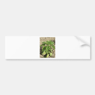 Single fresh basil plant growing in the field bumper sticker