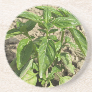 Single fresh basil plant growing in the field coaster