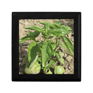 Single fresh basil plant growing in the field gift box