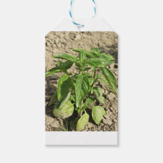 Single fresh basil plant growing in the field gift tags