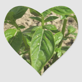 Single fresh basil plant growing in the field heart sticker