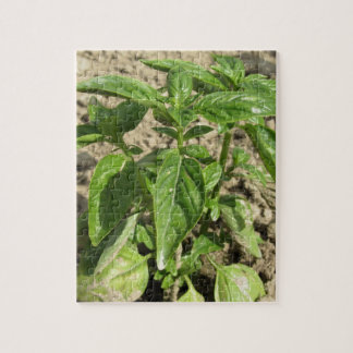 Single fresh basil plant growing in the field jigsaw puzzle